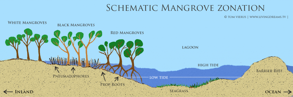 Red mangroves, Black Mangroves, White Mangroves in a typical pattern