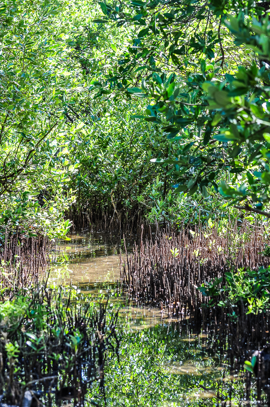 Mangroves in Everglades, Florida (USA)