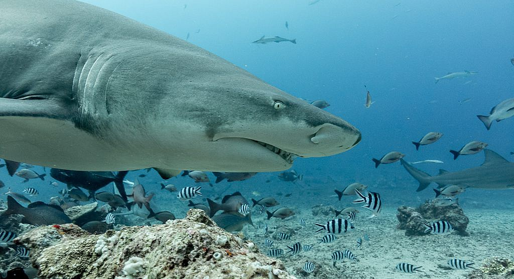 Sicklefin Lemon Shark in Beqa Lagoon