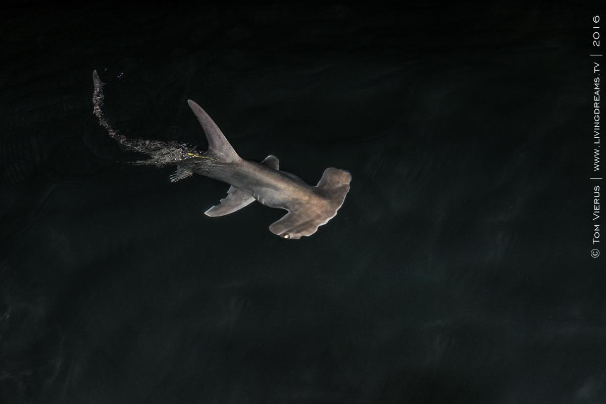 Shark Science, Fiji, northern Viti Levu, Master Thesis