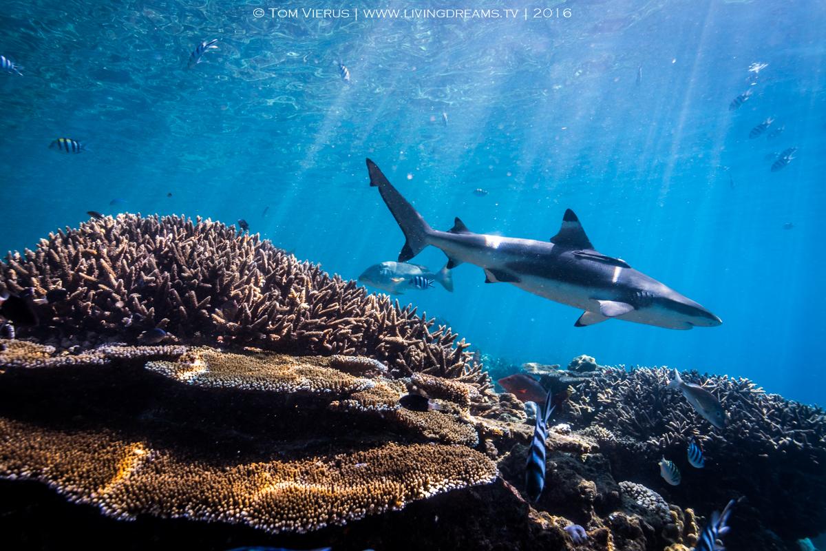 Sharks, Beqa, Beqa Adventure Divers, BAD, Underwater, Marine Protected Area