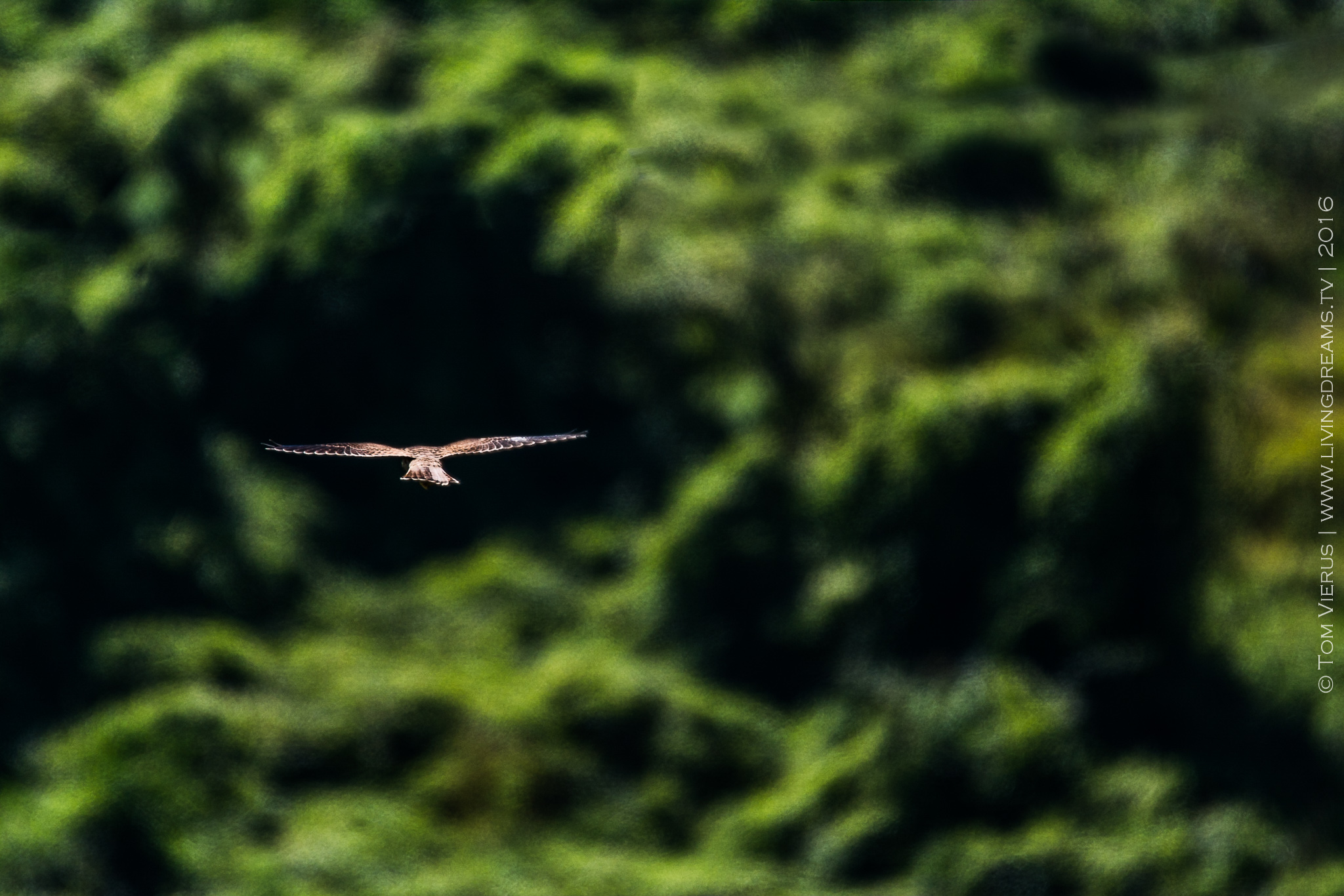 A bird of prey hovering above the ground and ready to strike any moment - any bird lovers out there than can help identify this beauty here?