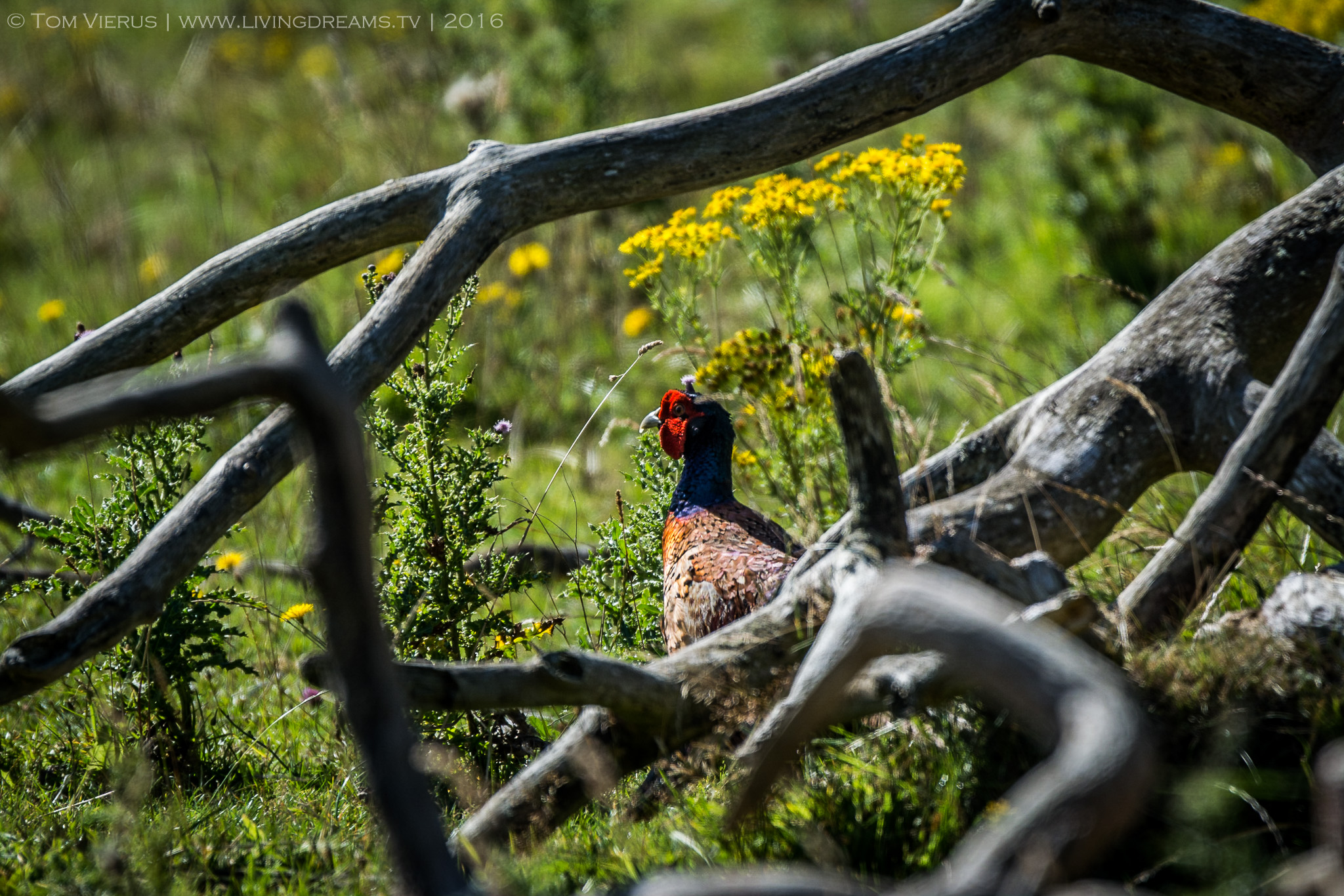 A pheasant hiding behind some branches. Unfortunately, he noticed me quite quickly and then made its way as far away from me as he could. Next time i will be more cautios when approaching them.