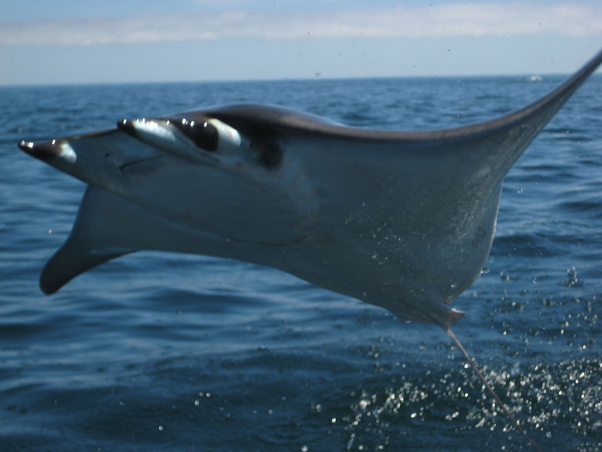 A mobula ray breaching. Image by Nick Bonzey from Corvallis, OR (Bat Rays catching some air) [CC BY-SA 2.0 (http://creativecommons.org/licenses/by-sa/2.0)], via Wikimedia Commons