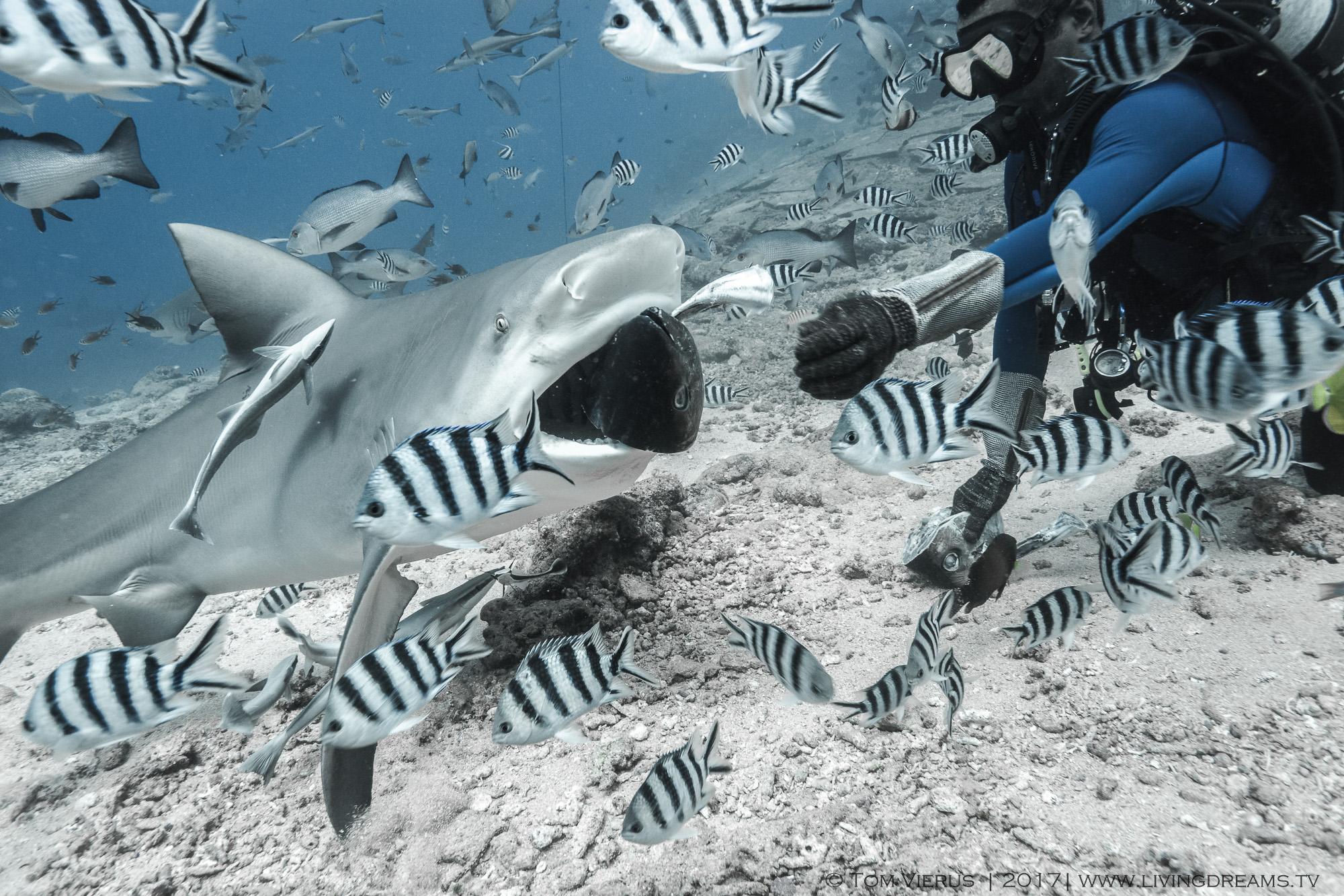 handfeeding, Viti-Levu, bull shark, C. leucas