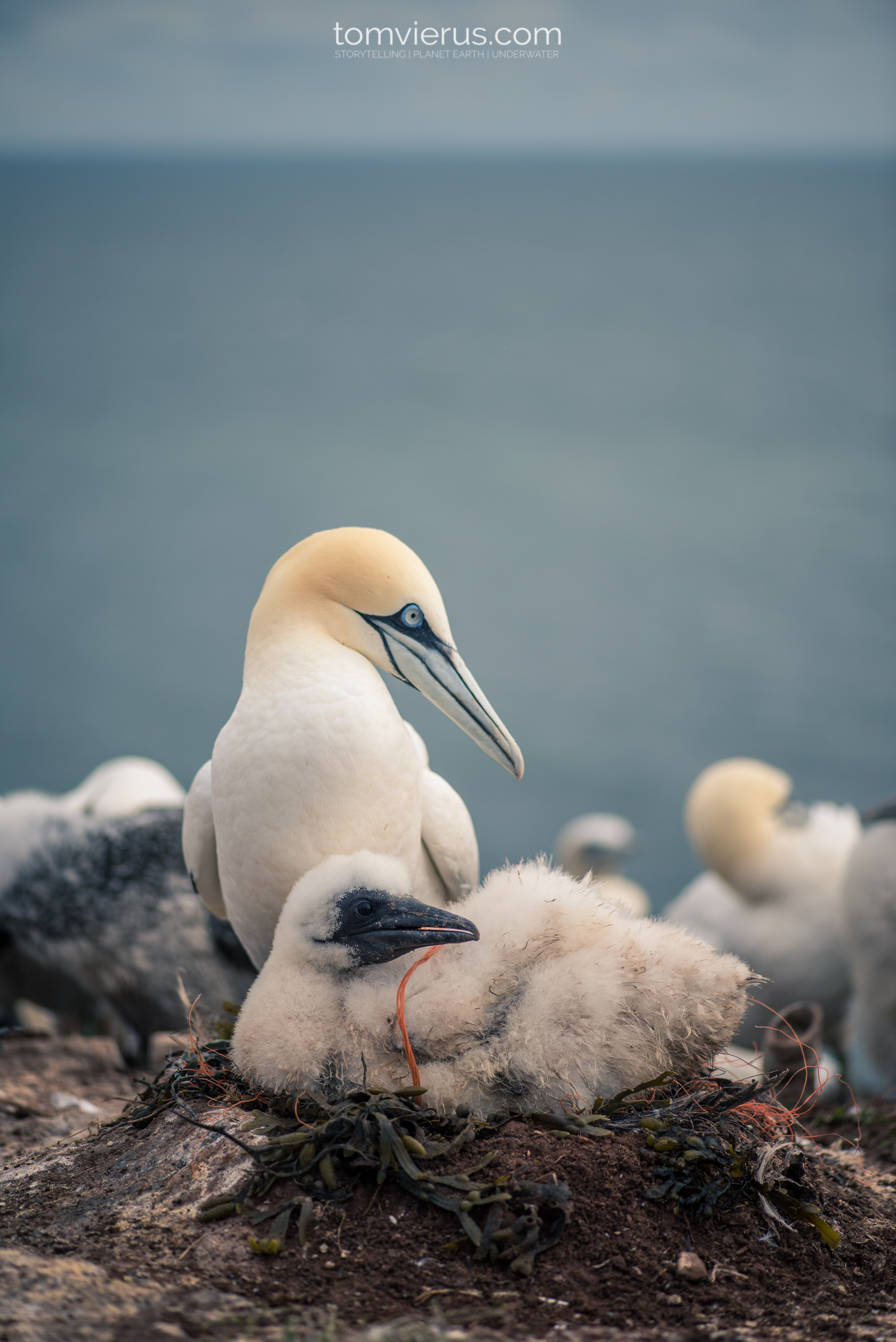 Gannet (Morus) Helgoland, Nature photography, birds, germany