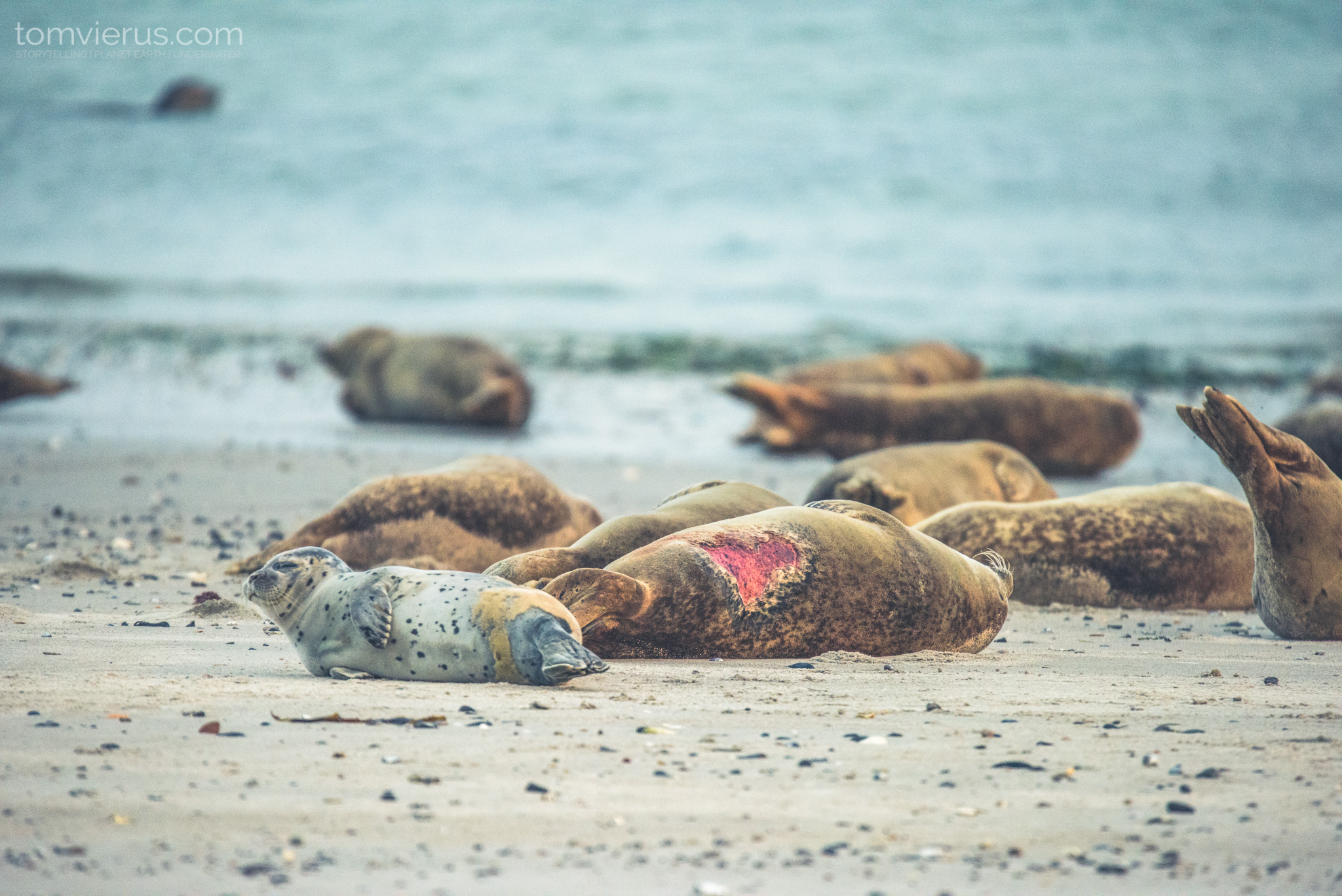Seals, Helgoland, photography, the dune