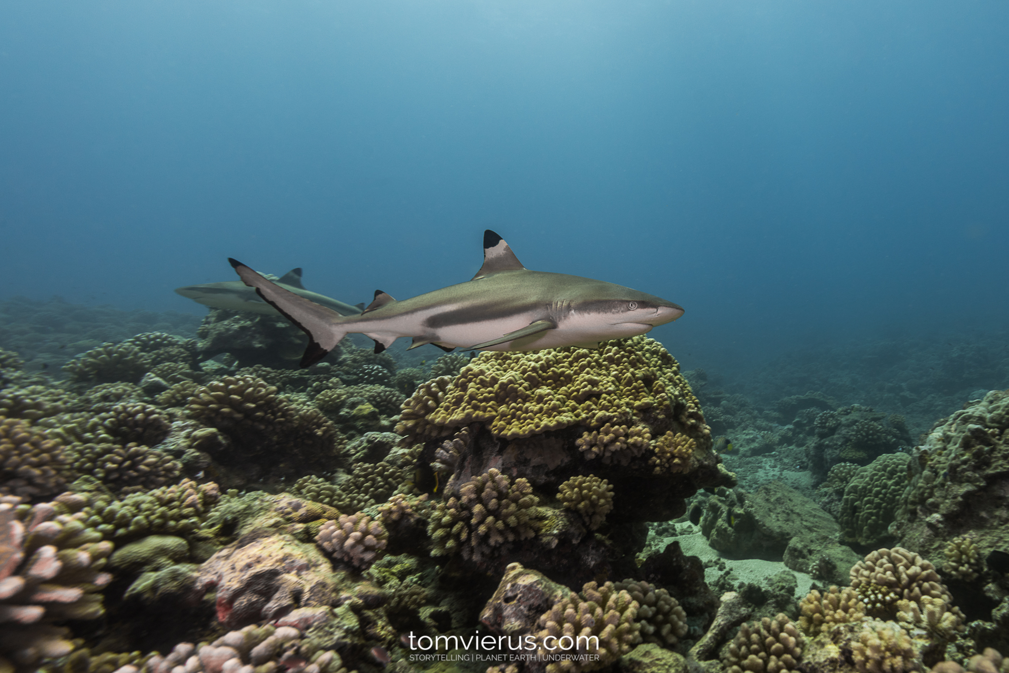 Tahiti Shark Expedition, Moorea, Sharks, Diving