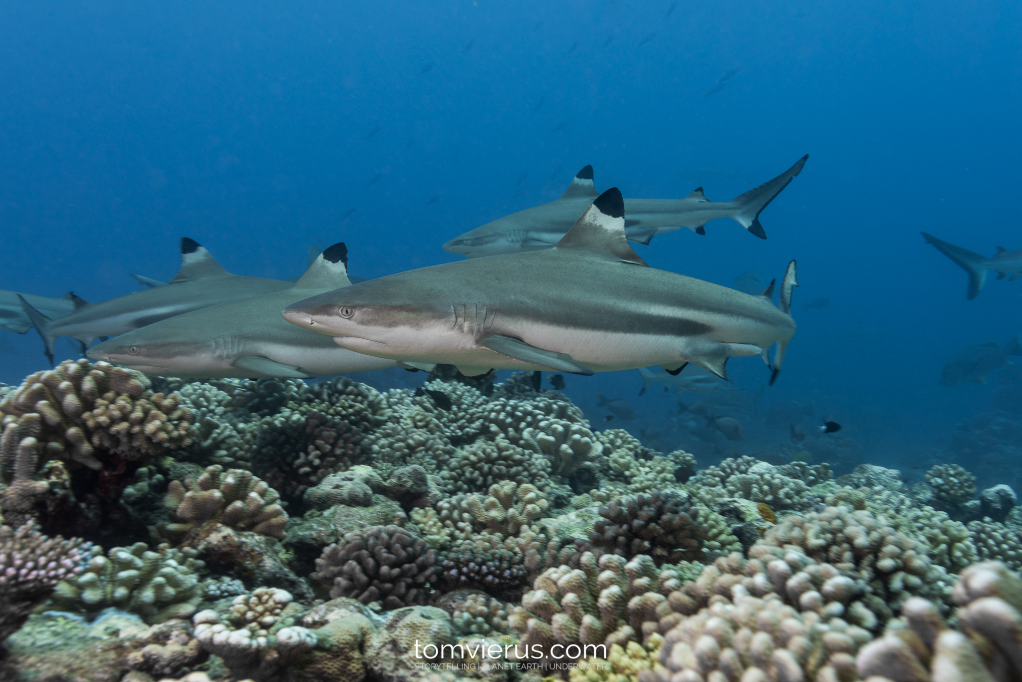 Blacktip reef sharks, diving, Tahiti, Moorea