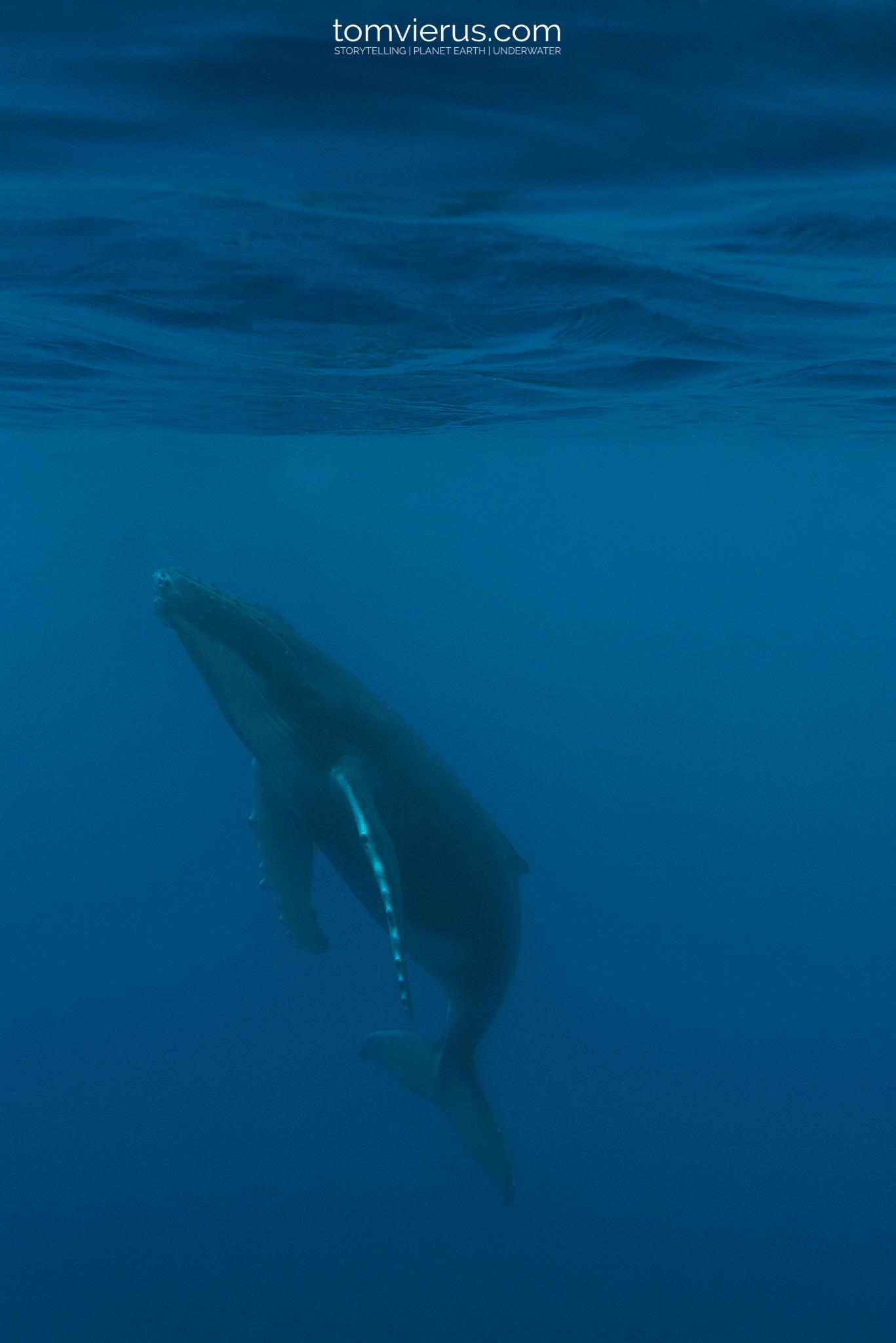 humpback whales, snorkel, ecotourism, moorea