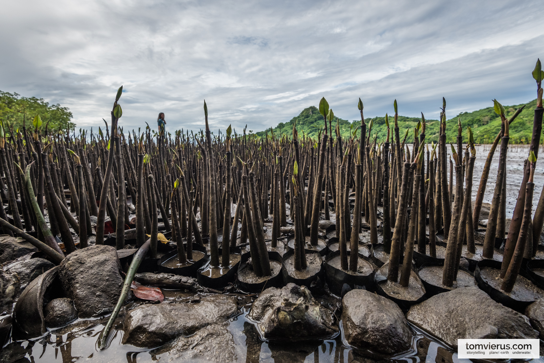 Mangrove seedlings on Beqa island, Fiji